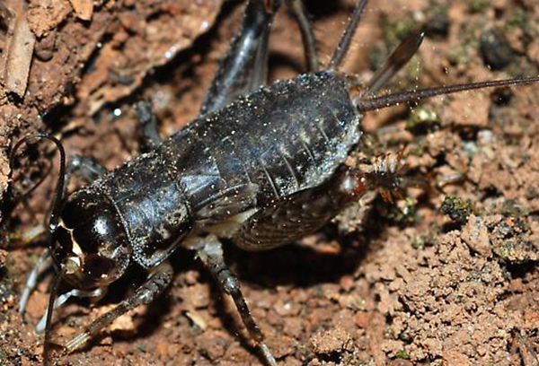 cricket under rocks