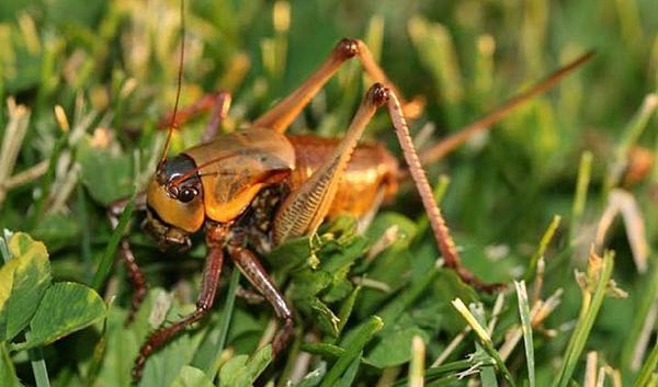 Cricket in grass